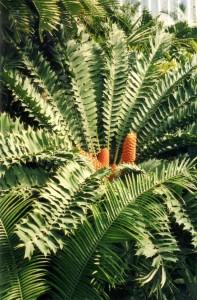 Encephalartos ferox [cc-by-sa-3.0 Steve Cook]