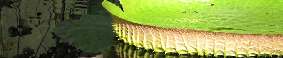 Polypompholyx