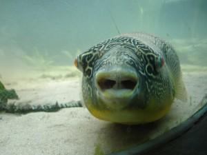 Fugu sp. [CC-BY-SA-3.0 Alex Lomas]