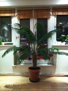 Cycas thouarsii, Christmas 2011 [CC-BY-SA-3.0 Steve Cook]