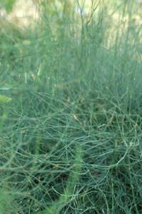 Ephedra sp. [CC-BY-2.0 Alex Lomas]