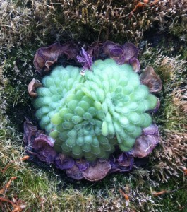Pinguicula cyclosecta winter rosette [CC-BY-SA-3.0 Steve Cook]