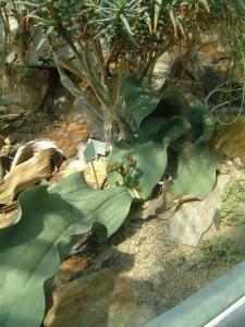 Welwitschia mirabilis [CC-BY-2.0 Alex Lomas]