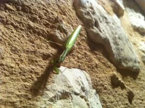 Mantis religiosa [CC-BY-SA-3.0 Steve Cook]