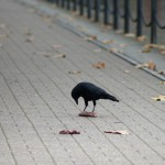 Corvus corone [CC-BY-SA-3.0 Steve Cook]