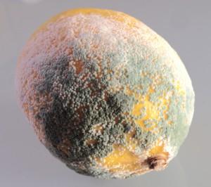Penicillum sp. growing on a lemon [CC-BY-SA-3.0 Steve Cook]