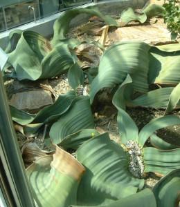 Berlin botanical gardens Welwitschia [CC-BY-2.0 Alex Lomas]