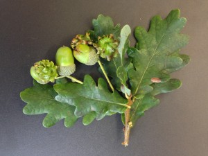 Andricus quercuscalicis on Quercus robur [CC-BY-SA-3.0 Steve Cook]