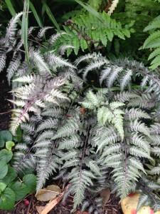 Athyrium niponicum cv. Pictum [CC-BY-SA-3.0 Steve Cook]
