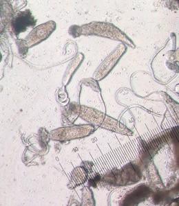 Bucephalus minimus [CC-BY-SA-3.0 Steve Cook]