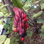 Magnolia ×soulangeana fruit [CC-BY-SA-3.0 Steve Cook]