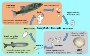 Bucephalus life-cycle [CC-BY-SA-3.0 Steve Cook, Didier Descouends, Citron, Roberto Pillon]