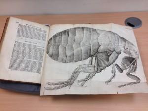 Flea from Hooke's Micrographia [Public Domain: Steve Cook]