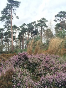 RHS Wisley heather garden [CC-BY-SA-3.0 Steve Cook]