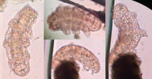 Tardigrades [CC-BY-SA-3.0 Steve Cook]