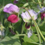 Pisum sativum (purple) [CC-BY-SA-3.0 Rasbak]