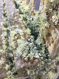 Eden lichens [CC-BY-SA-4.0 Steve Cook]