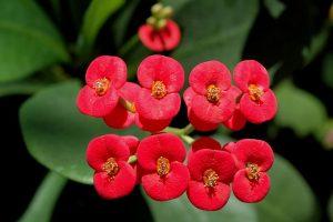 Euphorbia_milli [CC-BY-SA-3.0 Ezra Katz]