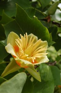 Liriodendron tulipifera [CC-BY-SA-.4.0 Steve Cook]