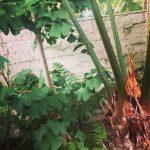 Cycas thouarsii and Ginkgo biloba [CC-BY-SA-3.0 Steve Cook]