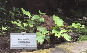 Amborella trichopoda [CC-BY-SA-4.0 Steve Cook]