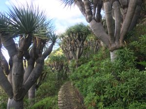 Dracaena draco pathway [CC-BY-SA-4.0 Steve Cook]
