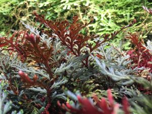 Selaginella erythropus [CC-BY-SA-4.0] Steve Cook